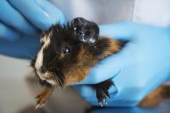 En veterinär med blåa handskar som behandlar en ung försökskanin i den veterinär- kliniken royaltyfri foto