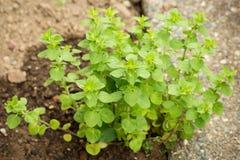 En vibrerande bushel av oreganon Royaltyfri Foto
