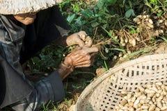 En vietnamesisk kvinna väljer upp jordnötter arkivfoton