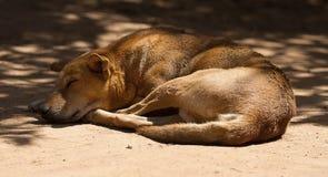 En vila vild hund Arkivbild