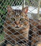 En vild katt i en bur Arkivbild
