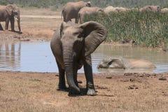 En vilken ilskna elefanttjur royaltyfri fotografi