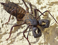 En Vinegaroon som vets också som, piskar Scorpion Arkivfoto