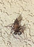 En Vinegaroon som vets också som, piskar Scorpion royaltyfria bilder