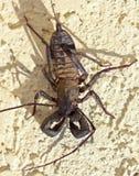 En Vinegaroon som vets också som, piskar Scorpion arkivbilder