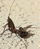 En Vinegaroon som vets också som, piskar Scorpion Arkivbild