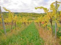 En vingård i fall Arkivfoton