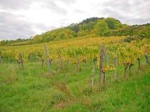 En vingård i fall Royaltyfri Foto