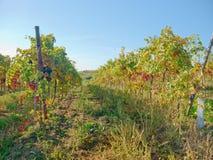 En vingård i fall Arkivfoto