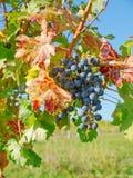 En vingård i fall Royaltyfria Foton