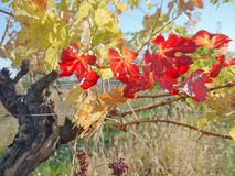 En vingård i fall Arkivbilder