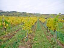 En vingård i falltiden Arkivfoton