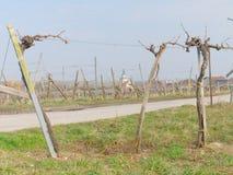 Sooss lägre Österrike: vingård i vintertiden Arkivfoto
