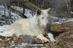 En vinter Wolf Cameo Royaltyfria Bilder