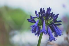 En violett blomma Royaltyfri Bild