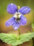 En violett blomma Arkivfoton