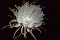 En vit blomma, bladcereus Fotografering för Bildbyråer