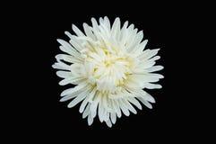 En vit blomma för astercallistephus Arkivbild