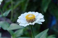 En vit blomma i min trädgård arkivfoto