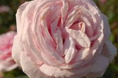 En vit blomma med ett förslag av rosa färger royaltyfri foto