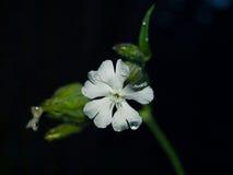 En vit blomma på den svarta bakgrunden Fotografering för Bildbyråer