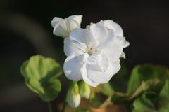 En vit blomma utomhus i vår Arkivbild