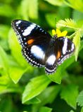 En vit doted svart fjäril royaltyfri foto
