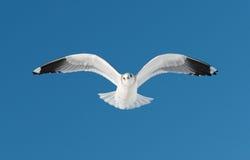 En vit fågel flyger på himmel Arkivbild