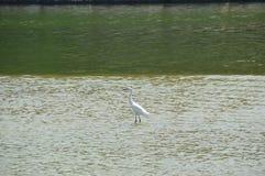 En vit fågel i floden Arkivfoton