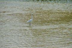 En vit fågel i floden Arkivbilder