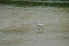 En vit fågel i floden Royaltyfria Bilder