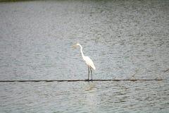En vit fågel namngav ägretthägret arkivfoton