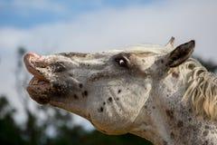 En vit fläckig manlig häst som flehming royaltyfria foton