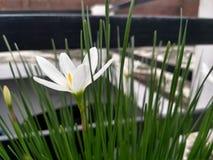 En vit flora med gula pollen i mitt arkivfoto