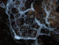 En vit glazy rörande plasmodium av en slamform på en substrate Royaltyfri Bild