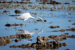 En vit häger som jagar på lagun Parkerar den stora ägretthägret för den vuxna vita hägret på jakten i naturligt av Albufera, Vale fotografering för bildbyråer