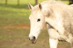 En vit häst som går på ett fält arkivfoton