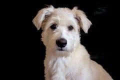 En vit hund Arkivfoton