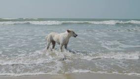 En vit hund står i vågor på stranden 4K stock video