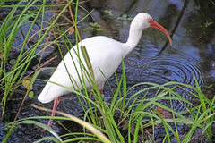 En vit ibis i träsket Royaltyfria Bilder