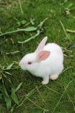 En vit kanin på gräsmattan Arkivfoto