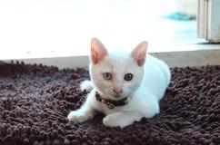 En vit katt chrushing på mattt Arkivbild