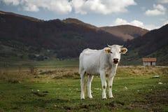 En vit ko av vuxet nötkreatur, avelitalienare Fotografering för Bildbyråer