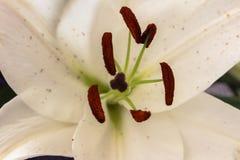 En vit lilja i slut upp Arkivfoton