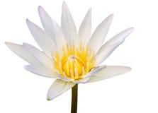 En vit lotusblomma eller en näckros Royaltyfri Fotografi