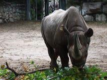 En vit noshörning Royaltyfri Foto