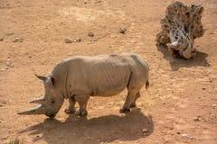 En vit noshörning (Ceratotheriumsimumen) Arkivbild