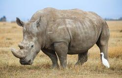 En vit noshörning och en nötkreaturägretthäger på gult savanngräs royaltyfri fotografi