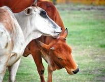 En vit och brun ko som älskar sig den vita kon som slickar huvudet av den bruna kon arkivfoton