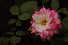 En vit- och rosa färgros Arkivfoto